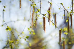 Catkins on birch trees Royalty Free Stock Image