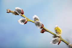 Catkins Stock Photography