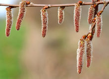 Catkins on branch close up. Royalty Free Stock Photography