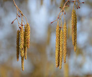 Catkins on branch close up. Royalty Free Stock Image