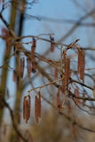 Catkins on branches Stock Image