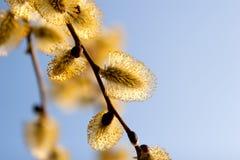 Catkins de florescência do salgueiro de encontro ao céu Fotos de Stock Royalty Free