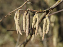 Catkins de noisette commune Photos stock