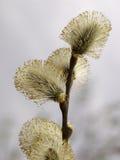 Catkins de Salix Photographie stock