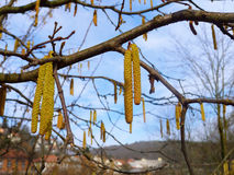 Avellano en primavera imagen de archivo libre de regalías