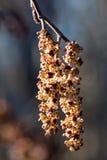 Catkins dell'ontano (glutinosa del Alnus) in primavera Immagini Stock