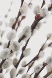 Catkins Royalty Free Stock Photography