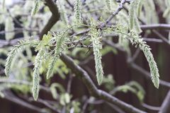 Catkins hanging from a tree branch. A close up of flowering Catkins hanging from a branch of a Willow Tree Stock Photos