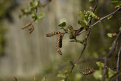 Catkins are the harbingers of Spring in a Lancashire woodlans Stock Images