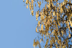 Catkins of hazel (Corylus) Royalty Free Stock Image