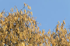 Catkins of hazel (Corylus) Royalty Free Stock Photo
