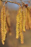 Catkins of hazel tree Stock Photography