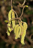Catkins Stock Photo