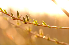 Catkins and leaves in sunlight. Photo of catkins and leaves in sunlight Stock Image