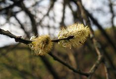 Catkins or male flowers of a pussy willow in april in spring woodland with budding leaves. The catkins or male flowers of a pussy willow in april in spring Royalty Free Stock Images