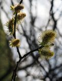 Catkins or male flowers of a pussy willow in april in spring woodland with budding leaves. The catkins or male flowers of a pussy willow in april in spring Royalty Free Stock Photography