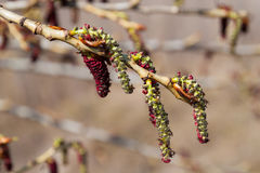 Catkins poplar Stock Images