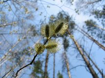 Catkins of pussy-willow Stock Photo