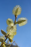 Catkins of pussy-willow against blue sky royalty free stock image