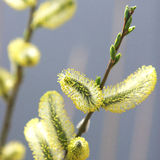 Catkins in springs sunshine Stock Images