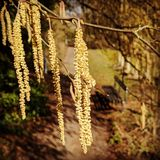 Catkins on a sunny February day. I upload this file exclusively on Dreamstime.com. I acknowledge and warrant that I have read and agree with the Exclusivity royalty free stock photography