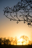Catkins At Sunset Stock Image