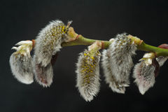 Catkins on tree Stock Image
