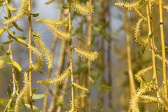 Catkins of a weeping willow tree. Branches with catkins of a weeping willow tree stock image