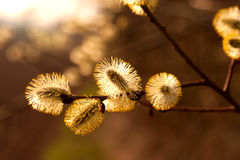 Catkins of willow in sunlight Stock Images