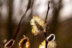 Catkins of willow in woods. Catkins of willow in sunlight in woods Stock Images