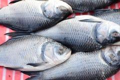 Catla fish Royalty Free Stock Photo