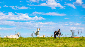 Catle brasiliano del nelore sul pascolo nella campagna del ` s del Brasile Fotografia Stock