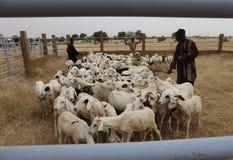 Catle de naves en el norte de Senegal imagen de archivo libre de regalías