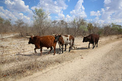 Cattle. African Cattle at Kavango Region. Caprivi Strip. Namibia Royalty Free Stock Photo