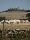 Catlle and Castle. Cattle in the foreground of an old castle in France Stock Photography