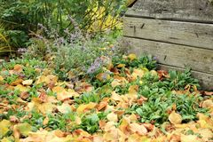 Catmint in the autumn garden Royalty Free Stock Photography
