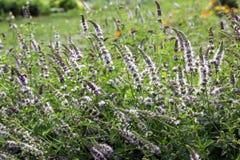 Catmint avec des fleurs photos libres de droits