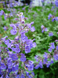 Catmint Royalty Free Stock Photo