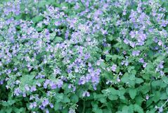 Catmint garden Stock Image