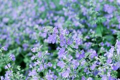 Catmint garden Stock Photos