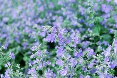 Catmint garden Stock Photos