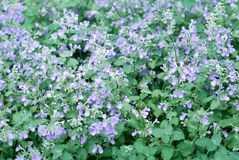 Catmint garden Royalty Free Stock Photo