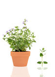 Catmint Herb Stock Images