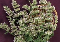 Catmint (Nepeta cataria) Lizenzfreies Stockfoto