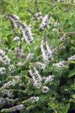 Catmint roślina na ogródzie zdjęcie stock