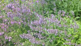 Catmint in summer stock video