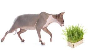 Catmint und Katze Stockbilder