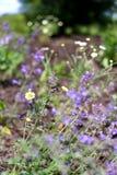 Catmint y manzanilla salvaje Daisy Flowers en jardín de la mariposa Foto de archivo libre de regalías
