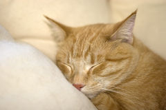 Catnap Royalty Free Stock Image