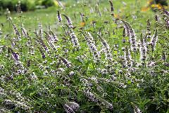 Catmint with flowers royalty free stock photos